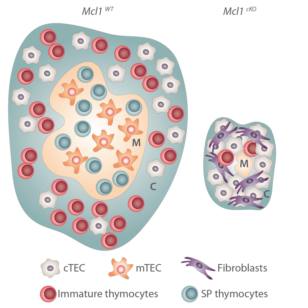 MCL-1 keeps a charming home for thymocytes