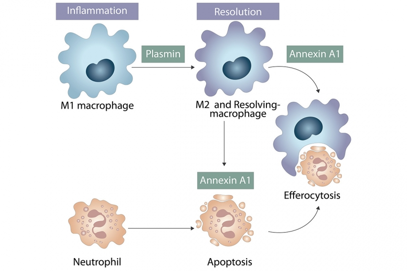 Reprogramming macrophages by plasmin